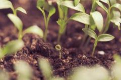 Macro seeds growing Royalty Free Stock Image