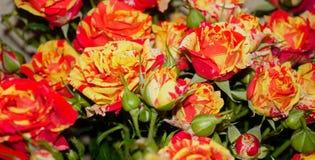 Macro selvaggia delle rose rosso luminoso e giallo fotografia stock