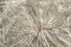 Macro semi del dente di leone Fotografia Stock Libera da Diritti