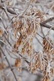 Macro semi dell'acero su un ramo nel gelo Fotografie Stock Libere da Diritti
