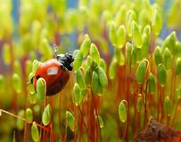Ladybird in moss brushwood royalty free stock images