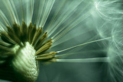 Macro shoot of dandelion Stock Images