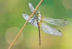 Macro Shoot of a dragonfly. With beautiful lensflares in the background Royalty Free Stock Photos