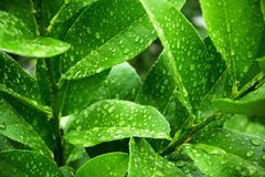 Macro shoot of fresh green leaves with raindrops Stock Images