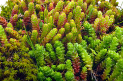Macro shoot of green moss, lichen Royalty Free Stock Images