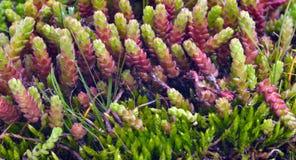 Macro shoot of green moss Royalty Free Stock Photos