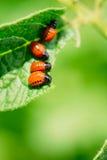 Macro Shoot Of Potato Bug On Leaf Stock Photos