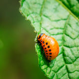 Macro Shoot Of Potato Bug On Leaf stock images