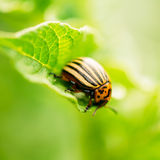 Macro Shoot Of Potato Bug On Leaf. The Colorado Potato Striped Beetle (Leptinotarsa Decemlineata) Is A Serious Pest Of Potatoes royalty free stock image