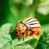 Macro Shoot Of Potato Bug On Leaf. The Colorado Potato Striped Beetle (Leptinotarsa Decemlineata) Is A Serious Pest Of Potatoes royalty free stock images