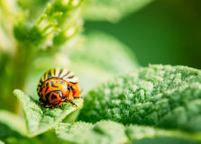 Macro Shoot Of Potato Bug On Leaf. The Colorado Potato Striped Beetle (Leptinotarsa Decemlineata) Is A Serious Pest Of Potatoes royalty free stock photos
