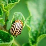 Macro shoot of potato bug on leaf. The Colorado potato striped beetle Leptinotarsa decemlineata is a serious pest of potatoes royalty free stock image