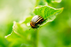 Macro shoot of potato bug on leaf. The Colorado potato striped beetle Leptinotarsa decemlineata is a serious pest of potatoes stock photography