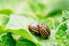 Macro Shoot Of Potato Bug On Leaf Stock Photo