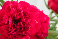 Macro shoot of red peony bud Royalty Free Stock Photo