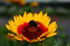 Bumblebee Macro shooting
