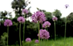Allium purple flower close up similar. stock photo