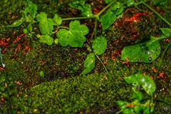 Moss with rain droplets royalty free stock photo