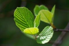 Macro short of fresh leafs Royalty Free Stock Photo