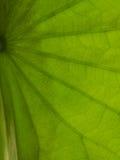 Macro shortthe green leaves and is backlit streaks. Stock Image