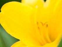 Macro shot. Abstract background with pistil and stamen of yello Stock Photography