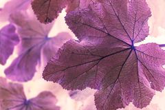Macro shot abstract purple leaf stock photo