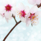 Macro shot of almond flowers Stock Images