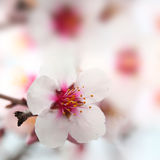 Macro shot of almond flowers Royalty Free Stock Image
