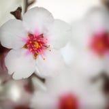 Macro shot of almond flowers Stock Photo