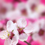Macro shot of almond flowers Stock Photography