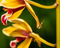 Macro shot of ant walking on a colored orchid flower Stock Images