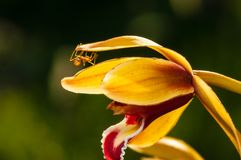 Macro shot of ant walking on a colored orchid flower Royalty Free Stock Images