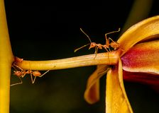 Macro shot of ant walking on a colored orchid flower Stock Image