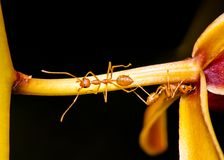 Macro shot of ant walking on a colored orchid flower Stock Photo