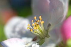 Macro shot of an apple tree flower Royalty Free Stock Photo