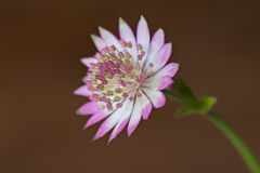 Macro shot of a Astrantia major Stock Photos