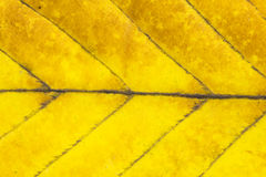 Macro shot of autumn leaf Royalty Free Stock Photo