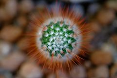Macro shot of a baby cactus stock photography