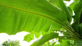 A macro shot of banana tree leaf. A macro shot of a leaf of a banana tree that pans to the left stock video