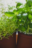 Macro shot of basil and thyme plants shot at shallow depth of fi. Aromatic herbs series: macro shot of basil and thyme plants shot at shallow depth of field Royalty Free Stock Images