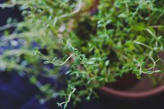 Macro shot of basil and thyme plants shot at shallow depth of fi. Aromatic herbs series: macro shot of basil and thyme plants shot at shallow depth of field Royalty Free Stock Photos