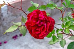 Macro shot of beautiful deep red Hybrid Perpetual Rose. With green leaves on background stock photography