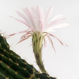Macro shot of a beautiful light pink blooming cactus flower on white Royalty Free Stock Images