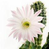 Macro shot of a beautiful light pink blooming cactus flower on white Stock Photo