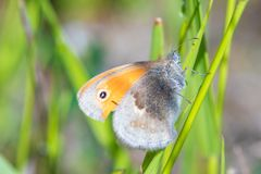 The macro shot of the beautiful orange butterfly on the little green grass branch in the warm sunny summer weather. The macro shot of the beautiful orange stock photos