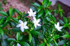 Macro shot of pinwheel flower or crape jasmine on green blurred background stock image