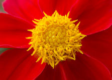 Macro shot of beautiful red flower with yellow core. Macro shot of beautiful red petals flower with yellow core pestles Royalty Free Stock Photos