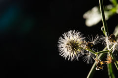 Macro shot of beautiful white dandelion flowers in forest Royalty Free Stock Photos