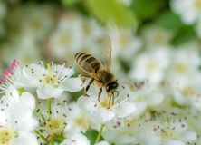 Bee flies from flower to flower stock image
