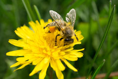 Macro shot of a bee sitting on yellow flower. Macro shot of a bee sitting on yellow dandelion flower. front view Stock Images